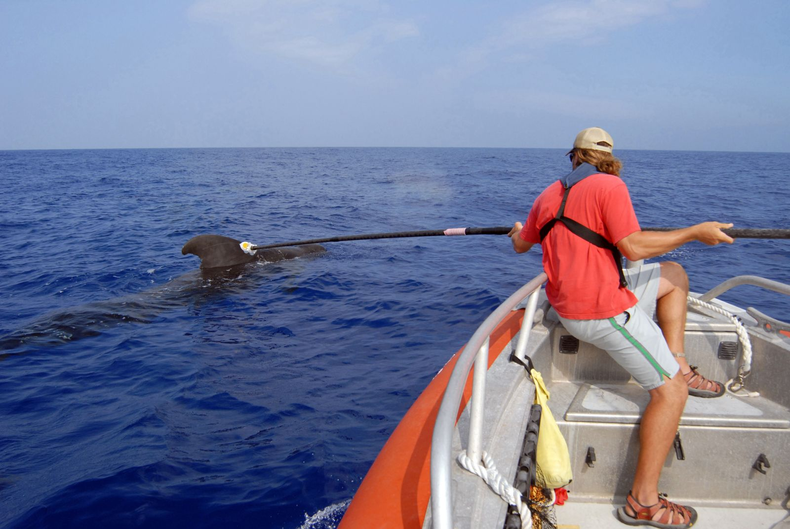 720-N-9316F-002_Ari_Friedlaender_a_Duke_University_Marine_Laboratory_researcher_attaches_a_D-TAG_to_a_pilot_whale_off_the_coast_of_Kona_Hawaii.jpg